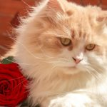 Lifestyle Glitz - Persian Cat